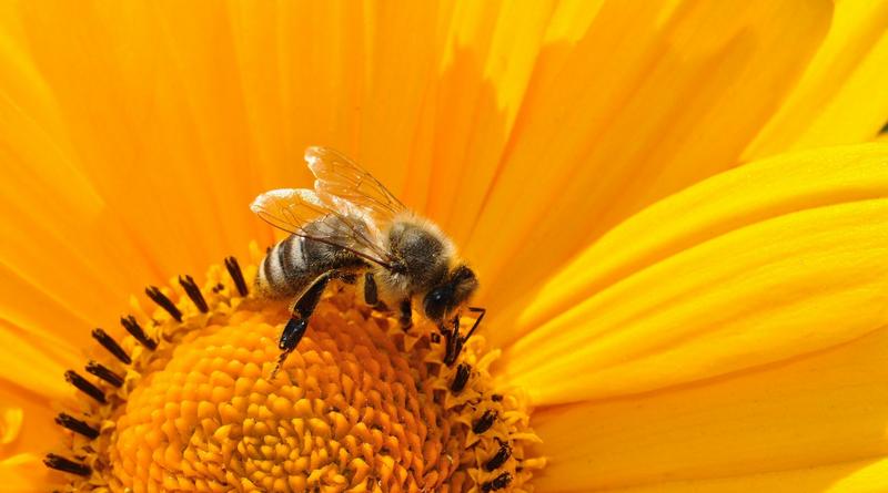 ilustrační-včela